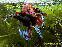 BY05-182z  Siamese Fighting Fish - male mating with egg laden female - Betta splendens
