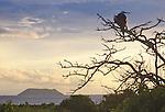 Galapagos Islands, Ecuador, Magnificent Frigatebird, Fregata magnificens, Pacific Ocean, .