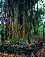 Fig tree and ancient sacred Meae platform   Nuku HIva Island Marqesas Islands  French Polynesia  Rainforest in Hakapaa Valley  South Pacific Ocean