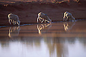 Sheep, freshly shorn, drinking at dam early morning, outback Queensland