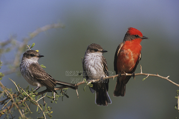 Vermillion Flycatcher (Pyrocephalus rubinus), male with young, Starr County, Rio Grande Valley, Texas, USA