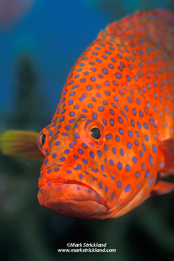 Ever curious, a Blue spotted grouper, Cephalopholis miniata, peers toward the lens. Thailand, Andaman Sea, Similan Islands Marine National Park.
