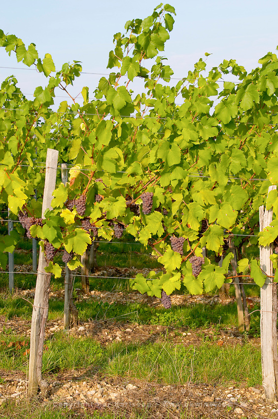 Vine with En Arcure training pinot gris vineyard domaine gerard neumeyer alsace france