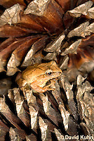 0302-0926  Spring Peeper Frog on Fallen Pine Cones, Pseudacris crucifer (formerly: Hyla crucifer)  © David Kuhn/Dwight Kuhn Photography