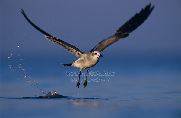 Laughing Gull, Larus atricilla, adult in flight, Rockport, Coastal Bend, Texas, USA