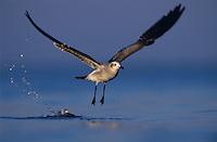 Laughing Gull, Larus atricilla, adult in flight, Rockport, Coastal Bend, Texas, USA