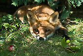 Kingston upon Thames, England. Fox in a suburban garden.