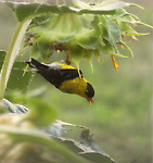 SUNFLOWERS/GOLDFINCHES/RAINDROPS