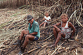 Pernambuco State, north-east Brazil. Child farm workers harvesting sugar cane.