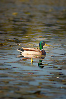 Mallard duck and reflection, Vancouver, Canada