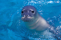 The endangered Hawaiian monk seal, latin name: monachus schauinslandi