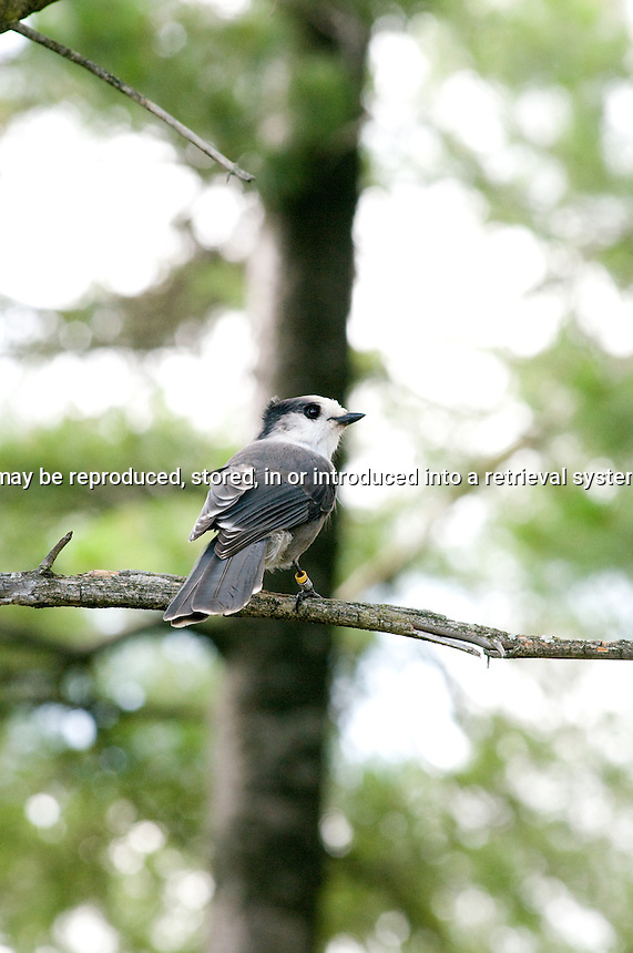 Gray Jay perched in Algonquin Park