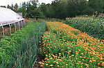 organic vegetables and herbs (Calendula officinalis) growing on organic farm