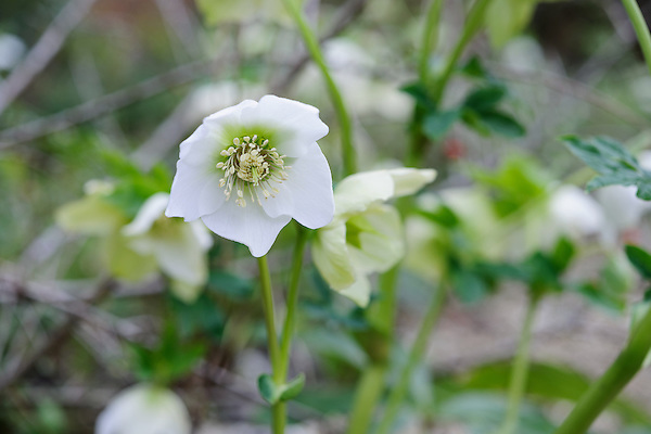 Helleborus x hybridus ' White Single'