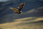 Great Horned Owl in flight.