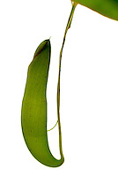Planta insetívora no Jardim Botânico ( Nepenthes mirabilis druce)). RJ. Foto de Luciana Whitaker.