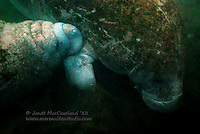 A Baby West Indian Manatee nurses on it's mother cow at her pectoral armpit area, where the breast is located. This photo was taken in the canal in Crystal River, Florida early January.