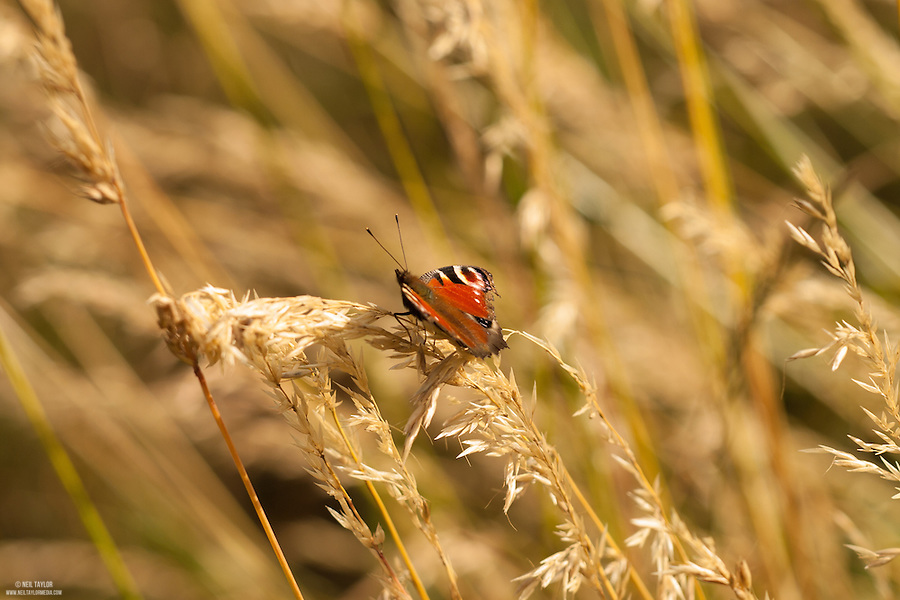 Peacock butterfly {Inachis io} Resting at Elmley Marshes, Ise of Sheppey, Kent