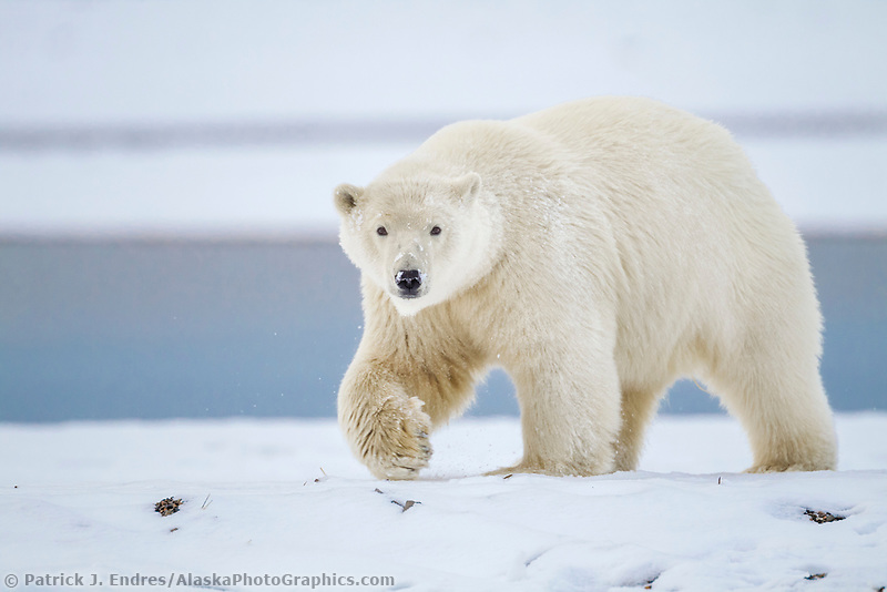Polar bear along the shore of a barrier island in Alaska's Beaufort Sea, Arctic National Wildlife Refuge.