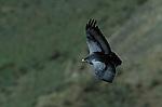 Adult Black Chested Buzzard Eagle soaring.( geranoaeutus melanoleucus ) Torres del Paine National Park, Chile