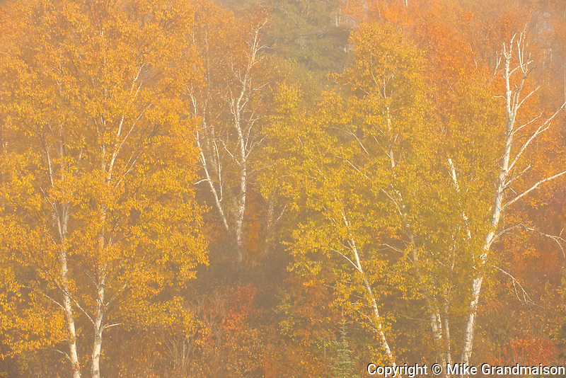Autumn colors on birch trees in fog at sunrise at Lyons Lake.<br />