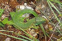 Westliche Smaragdeidechse, Smaragd-Eidechse, Männchen, Lacerta bilineata, Lacerta bilineata ssp. chloronota, (ehemals Lacerta viridis), western green lizard, western green-lizard
