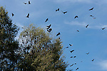 Fruit bats flying out of the island where they roost during the day.