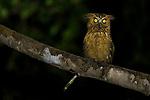 Buffy Fish-Owl<br /> (Ketupa ketupu) at night, Deramakot Forest Reserve, Sabah, Borneo, Malaysia