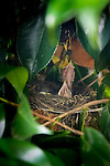 American Robin, nesting in a camellia bush in Portland, Oregon with 4 chicks
