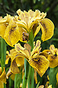 Iris 'Berlin Tiger', late May. A hybrid of the common flag iris (Iris pseudacorus) bred by Thomas Tamberg from Germany. The flowers are a deep yellow with brown veins throughout the petals.