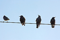 Migratory Starlings perched on a telephone wire , Lambourn, England