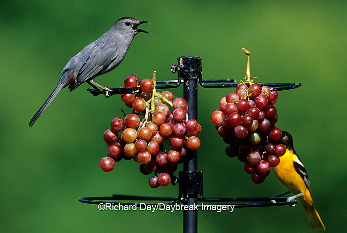 00585-01719 Gray Catbird (Dumetella carolinensis) & Baltimore Oriole (Icterus galbula) female eating grapes at feeder Marion Co. IL
