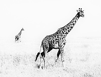 Masai giraffes walk the plains of the Serengeti.