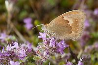 Kleines Wiesenvögelchen, Wiesen-Vögelchen, Kleiner Heufalter, Blütenbesuch auf Thymian, Coenonympha pamphilus, small heath