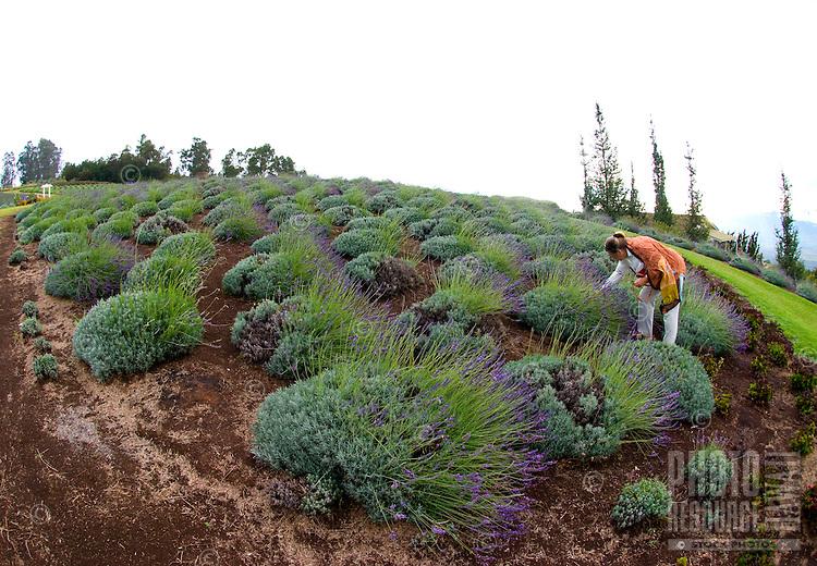 A woman more closely examines a lavender plant at the Alii Kula Lavender farm at the base of Haleakala, Kula