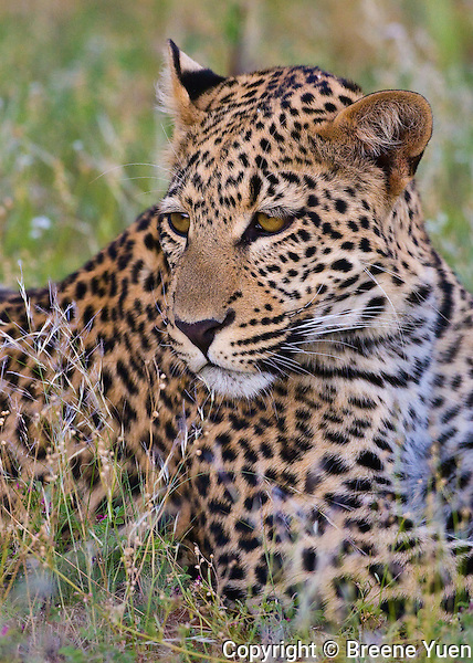 Leopard keeping watch in the Namib Desert