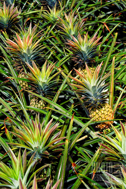 Pineapples growing in field on island of oahu