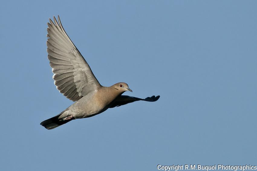 White-winged Dove in Flight