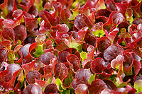Field grown leafy salads - Lincolnshire, July