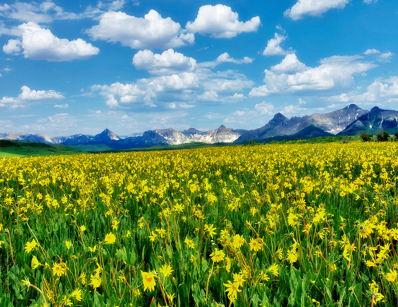 Yellow wildflowers and San Juan Mountains. Near Ridgeway, Colorado.