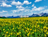 Yellow wildflowers and San Juan Mountains. Near Ridgeway, Colorado.