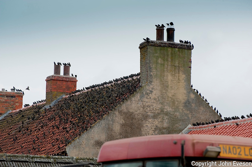 Starlings ,Sturnus vulgaris, on a farmhouse roof, Yorkshire.