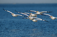 American White Pelican, Pelecanus erythrorhynchos, group in flight, Rockport, Texas, USA