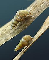 Heleobia stagnorum