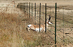 A pronghorn buck.  A Pronghorn avoids jumping a barbed wire fence by slippling under the bottom wire, which in some grazing areas is higher off the ground to facilitate this manuveur