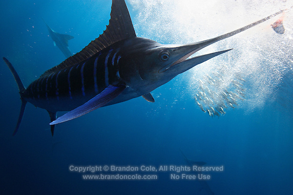 qf1046-D. Striped Marlin (Tetrapturus audax) has sliced a Pacific Sardine (Sardinops sagax) in half and now prepares to swallow it. Baja, Mexico, Pacific Ocean..Photo Copyright © Brandon Cole. All rights reserved worldwide.  www.brandoncole.com..This photo is NOT free. It is NOT in the public domain. This photo is a Copyrighted Work, registered with the US Copyright Office. .Rights to reproduction of photograph granted only upon payment in full of agreed upon licensing fee. Any use of this photo prior to such payment is an infringement of copyright and punishable by fines up to  $150,000 USD...Brandon Cole.MARINE PHOTOGRAPHY.http://www.brandoncole.com.email: brandoncole@msn.com.4917 N. Boeing Rd..Spokane Valley, WA  99206  USA.tel: 509-535-3489