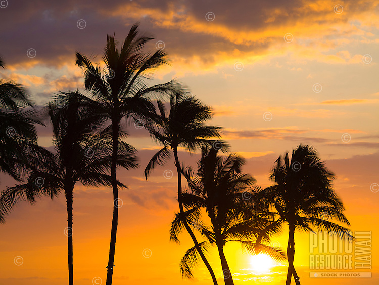 Palm trees are silhouetted against a brilliant orange sunset, Waikoloa, Big Island.