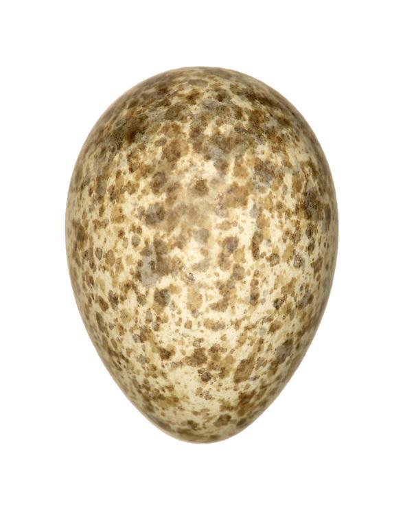 Crested Lark - Galerida cristata