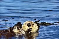 Sea Otter, Enhydra lutris nereis, Endangered status, Montery Bay, California, USA