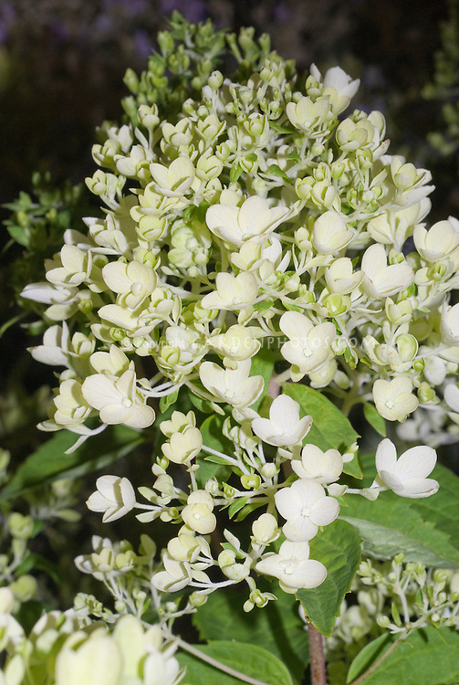Hydrangea paniculata 'Bombshell'